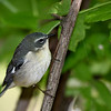 Black-throated Blue Warbler (Female) @ Magee Marsh - May 2008