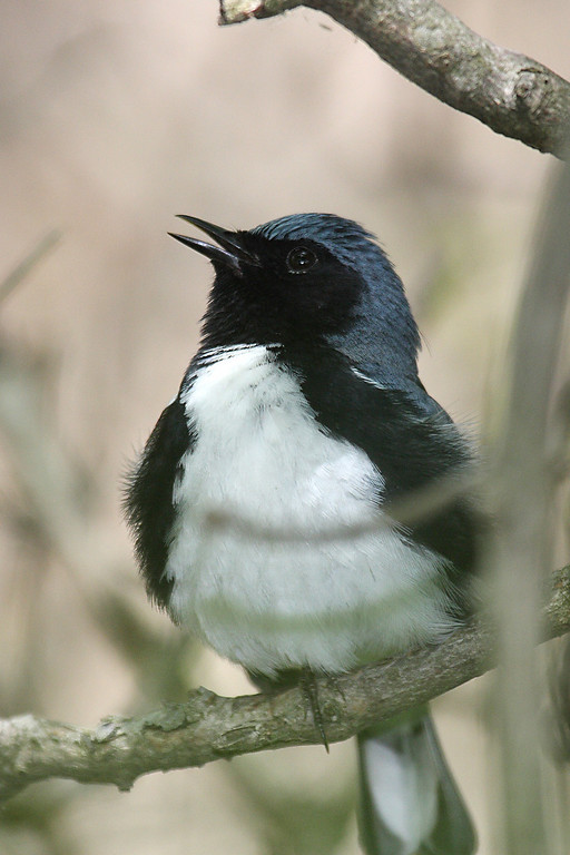 Black-throated Blue Warbler @ Magee Marsh - May 2008 (Male)