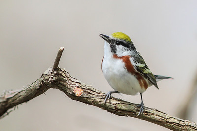 Chestnut-sided Warbler @ Magee Marsh - May 2014
