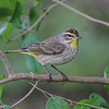 Palm Warbler @ Florida - March 2014
