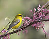 Blue-winged Warbler @ Shawnee State Forest - April 2010