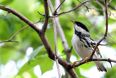 Blackpoll Warbler @ Magee Marsh WA, May 2010
