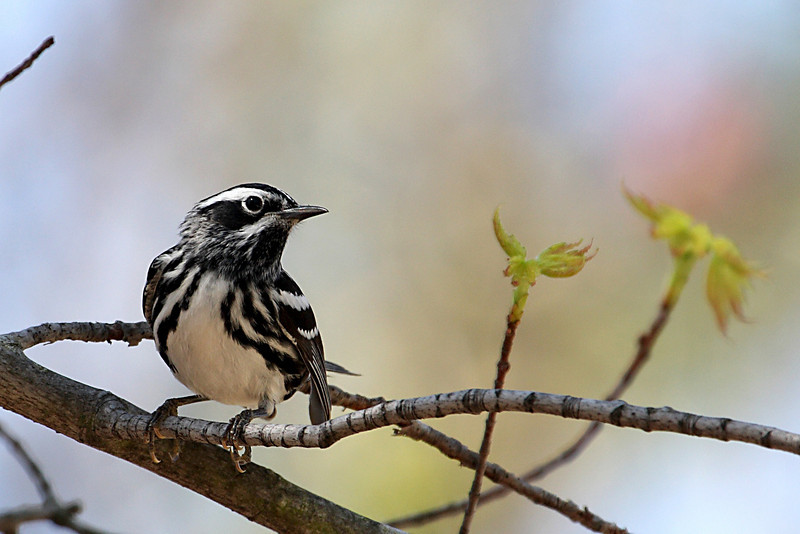 Black and White Warbler @ Zeleski State Forest - April 2009