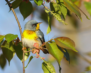 Northern Parula @ Shawnee State Park - April 2014