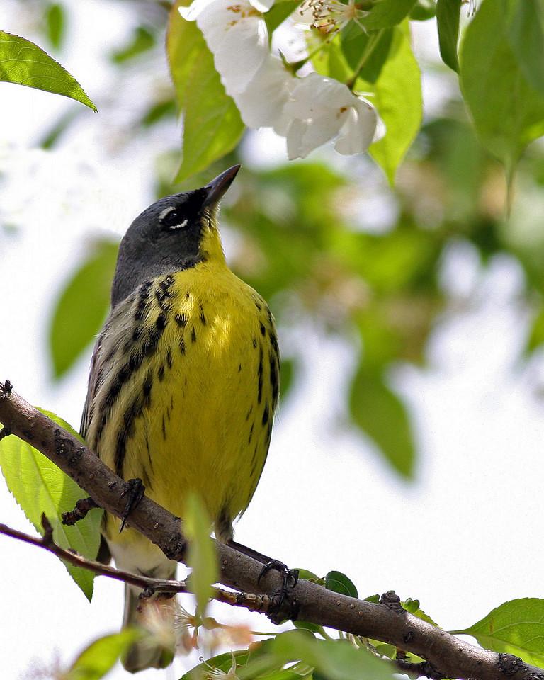 Kirtland's Warbler @ Kennear Rd, Columbus - May 2011