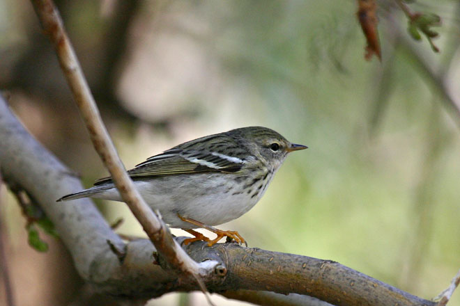 Blackpoll Warbler (Female) - Magee Marsh, May 2005
