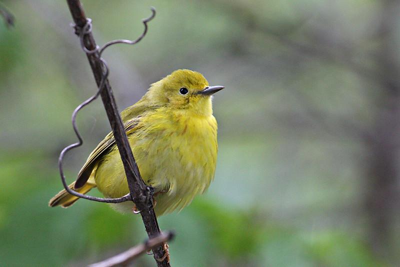 Yellow Warbler (Female) @ Magee Marsh WA - May 2010