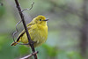 Yellow Warbler (Female) @ Magee Marsh WA - May 2010