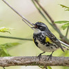 Yellow-rumped Warbler @ Magee Marsh - May 2014