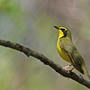 Kentucky Warbler @ Scioto Trail SP - May 2013