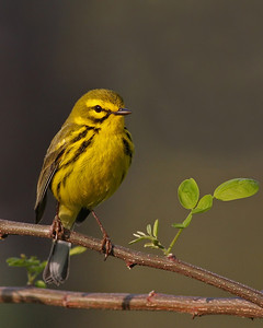 Prairie Warbler @ Shawnee State Forest, Ohio - April 2011