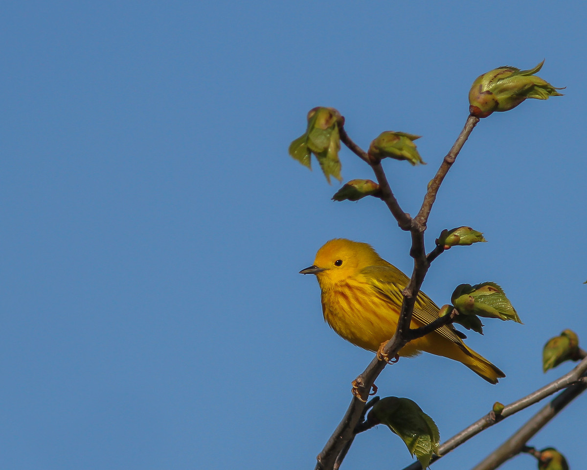 Yellow Warbler @ Ottawa National Wildlife Refuge - May 2014
