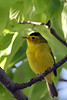 Wilson's Warbler @ Magee Marsh WA - May 2010