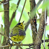 Wilson's Warbler @ Sheldon Marsh - May 2013
