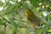 Wilson's Warbler @ Magee Marsh - May 2007