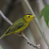 Wilson's Warbler @ Magee Marsh - May 2014