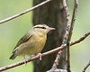 Worm-eating Warbler @ Shawnee State Forest - April 2010
