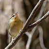 Worm-eating Warbler @ Clear Creek Metro Park - May 2013