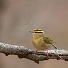 Worm-eating Warbler @ Scioto County - April 2018