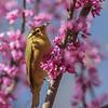 Worm-eating Warbler @ Shawnee State Park - April 2014