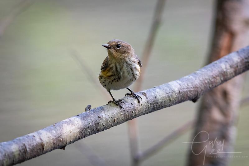 Yellow Rumped Warbler - Fall 2021