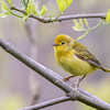 Yellow Warbler @ Magee Marsh WA, May 2016