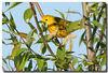 5-12-07 Yellow Warbler 6