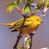 20200520 – Yellow Warbler (Setophaga petechia)