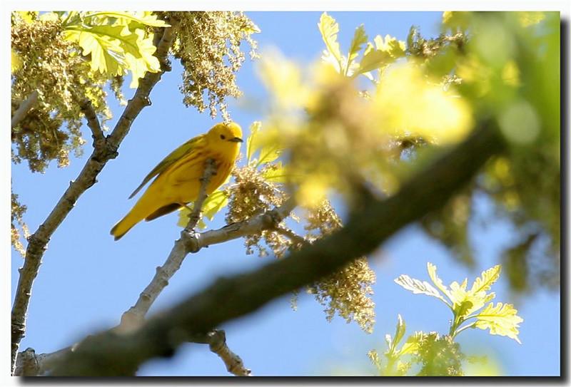5-12-07 Yellow Warbler 1