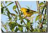 5-12-07 Yellow Warbler 5