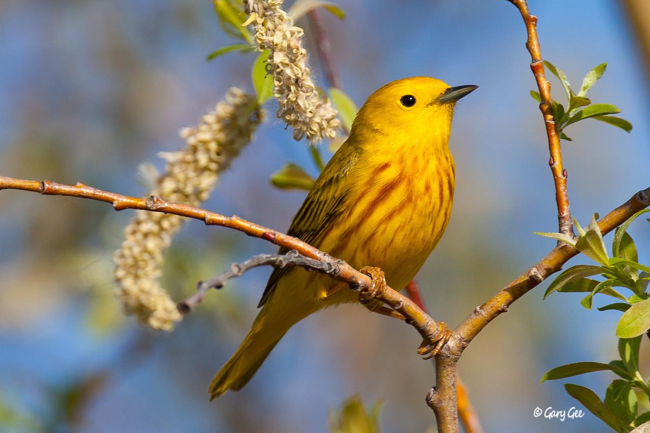Yellow_Warbler