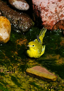 Yellow Warbler 7419
