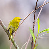 Yellow Warbler @ Magee Marsh SP, OH - May 2016