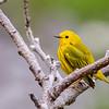 Yellow Warbler @ Ottawa NWR, OH - May 2016