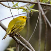 Yellow Warbler @ Magee Marsh, May 2016