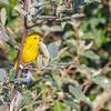 Yellow Warbler @ The Wilds, June 2016