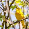 Yellow Warbler @ Magee Marsh - May 2017