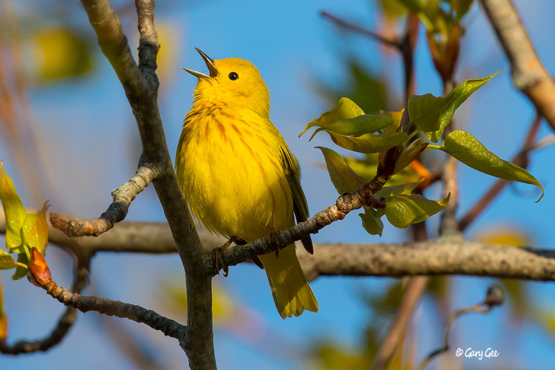 Yellow Warbler Tawas Point 2017