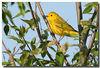 5-12-07 Yellow Warbler 8