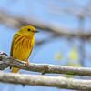 Yellow Warbler @ Magee Marsh, May 2015