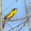 Yellow-breasted Chat @ Shawnee State Park - April 2014