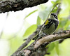 Yellow-rump Warbler @ Magee Marsh WA - May 2010