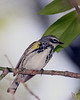 Yellow-rumped Warbler @ Magee Marsh - May 2008