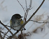 Yellow Rumped Warbler @ Blendon Woods Metro Parks - January 2009