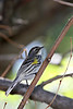 Yellow-rumped Warbler @ Magee Marsh Wildlife Area - May 2009