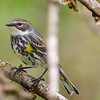 Yellow-rumped Warbler @ Magee Marsh, May 2016
