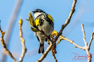 Yellow rumped Warblers