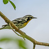 Yellow-throated Warbler @ Hocking Co - May 2015