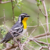 Yellow-throated Warbler @ Slate Run MP, April 2016