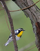 Yellow-throated Warbler @ Pizzaro Park - April 2010